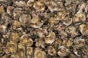 Ingo Arndt - Greater Mouse-Eared Bat colony, Germany