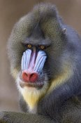 Ingo Arndt - Mandrill male portrait, native to Africa