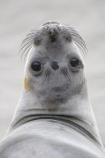 Ingo Arndt - Northern Elephant Seal female, California