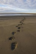 Ingo Arndt - Grizzly Bear tracks on tidal flats, Alaska