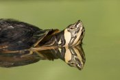 Ingo Arndt - Yellow-bellied Slider in pond, North America