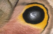 Ingo Arndt - Moth detail of false eye spot on wing, Europe