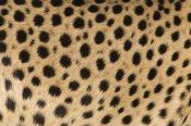 Ingo Arndt - Cheetah close-up of coat showing spots, Africa