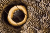 Ingo Arndt - Owl Butterfly wing with false eye spot, South America