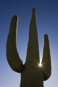 Ingo Arndt - Saguaro cactus and sun, Saguaro National Park, Arizona