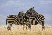Ingo Arndt - Burchell's Zebra pair, Lake Nakuru National Park, Kenya