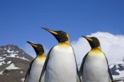 Ingo Arndt - King Penguin trio, St. Andrews Bay, South Georgia Island