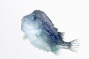 Ingo Arndt - Lumpfish twenty seven centimeters long, Helgoland, Germany