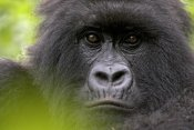 Ingo Arndt - Mountain Gorilla female, Parc National Des Volcans, Rwanda