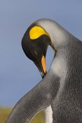 Ingo Arndt - King Penguin preening, King Edward Point, South Georgia Island