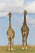 Ingo Arndt - Masai Giraffe male and female, Masai Mara National Reserve, Kenya