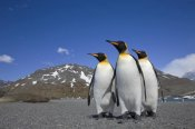 Ingo Arndt - King Penguin group on beach, St. Andrews Bay, South Georgia Island