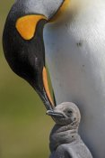 Ingo Arndt - King Penguin tending to young chick, Jason Harbor, South Georgia Island