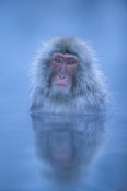Ingo Arndt - Japanese Macaque bathing in hot springs, Joshinetsu Plateau National Park, Japan