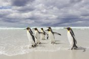 Ingo Arndt - King Penguin group on beach walking into surf, Volunteer Point, Falkland Islands