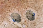 Ingo Arndt - European Flounder eyes, fish is approximately nine centimeters, Helgoland, Germany