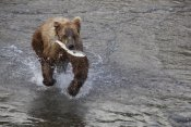 Matthias Breiter - Grizzly Bear young male with Sockeye Salmon prey along Brooks River, Katmai National Park, Alaska