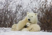 Matthias Breiter - Three month old Polar Bear cubs nursing, Wapusk National Park, Manitoba, Canada