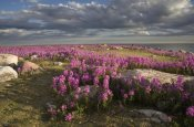 Matthias Breiter - Fireweed covered island, Hudson Bay, Canada