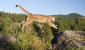 Matthias Breiter - Mountain Lion jumping, Montana. Sequence 1 of 2