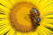 Matthias Breiter - Bee on Alpine Sunflower, British Columbia, Canada