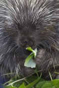 Matthias Breiter - Common Porcupine feeding on leaves, Haines, Alaska