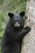 Matthias Breiter - Black Bear cub in tree safe from danger, Orr, Minnesota
