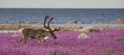 Matthias Breiter - Caribou male in a field of fireweed, Hudson Bay, Canada