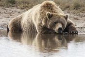 Matthias Breiter - Grizzly Bear sleeping on shore, Katmai National Park, Alaska
