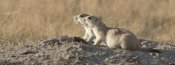 Matthias Breiter - Prairie Dog pair, Grasslands National Park, Saskatchewan, Canada