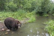Matthias Breiter - Black Bear large adult male drinking from stream, Orr, Minnesota