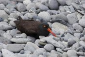 Matthias Breiter - Black Oystercatcher on rocky beach, Katmai National Park, Alaska