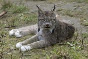 Matthias Breiter - Canada Lynx reclining showng typically large feet, Haines, Alaska