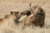 Matthias Breiter - Grizzly Bear mother and cub playing, Katmai National Park, Alaska
