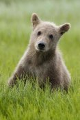 Matthias Breiter - Grizzly Bear yearling cub among sedges, Katmai National Park, Alaska