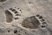 Matthias Breiter - Grizzly Bear front and back paw prints, Katmai National Park, Alaska
