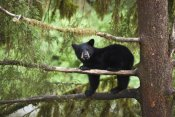 Matthias Breiter - Black Bear cub in tree along Anan Creek, Tongass National Forest, Alaska