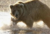 Matthias Breiter - Grizzly Bear foraging for salmon in stream, Katmai National Park, Alaska