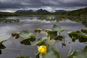 Matthias Breiter - European Yellow Pondlily on pond with overcast sky, Katmai National Park, Alaska