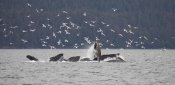 Matthias Breiter - Humpback Whale bubble net feeding near Juneau with seagulls stealing fish, Alaska