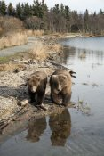 Matthias Breiter - Grizzly Bear mother and yearling walking along river, Katmai National Park, Alaska
