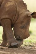 Matthias Breiter - White Rhinoceros calf playing with a rock, Rhino and Lion Nature Reserve, South Africa
