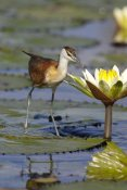 Matthias Breiter - African Jacana juvenile foraging for insects in water lily flower, Okavango Delta, Botswana