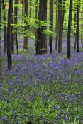 Cisca Castelijns - Bluebell carpet in the forest
