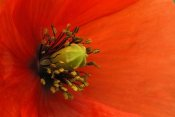 Cisca Castelijns - Long-headed Poppy, Netherlands
