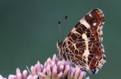 Cisca Castelijns - Map Butterfly on flower, Europe