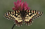 Cisca Castelijns - Spanish Festoon butterfly on flowering clover, Europe