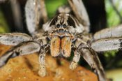 James Christensen - Wolf Spider, Mindo, western slope of Andes, Ecuador