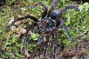 James Christensen - Tarantula male, Mindo, western slope of Andes, Ecuador