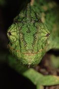 Hans Christoph - Mediterranean Chameleon close up, head on, Portugal